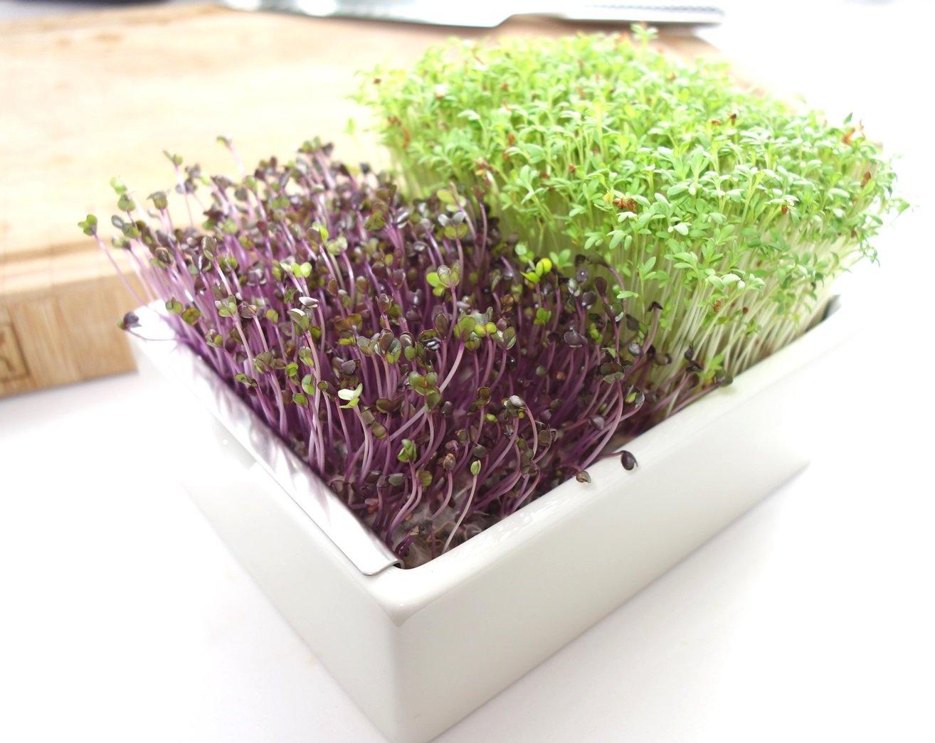 DSC01300 - Microgreens selber anbauen und Superfood einfach züchten