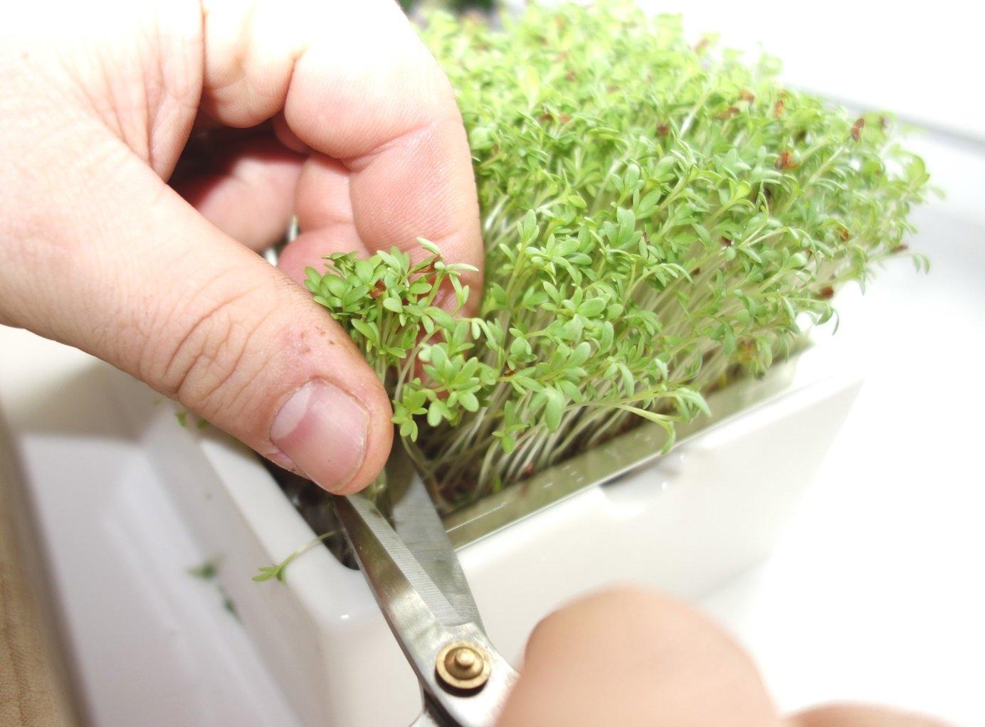 DSC01302 - Microgreens selber anbauen und Superfood einfach züchten